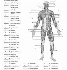 Full Body Anatomy Chart Blank Muscle Diagram To Label Anatomy Physiology Quiz