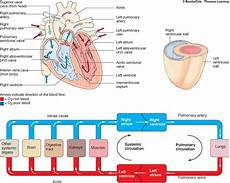 Chart Of Blood Flow Through Heart Blood Throught The Heart