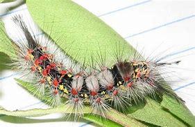 "Image result for ""western-tussock-moth"""