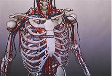 organi gabbia toracica anatomia in 3d i futuri medici studiano cos 236 medicinaworld