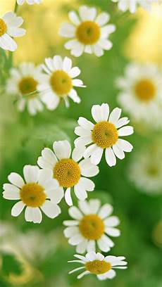 iphone wallpaper nature flowers nature white flower iphone 7 wallpaper iphone 6