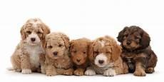 Goldendoodle Food Chart Golden Doodle Dog Breed Information Images