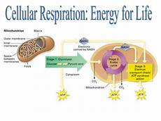Cell Processes Cellular Respiration