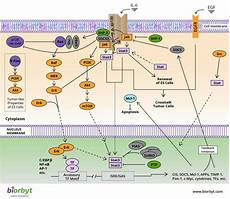 Jak Stat Pathway Jak Stat Pathway Signaling Pathways Biorbyt