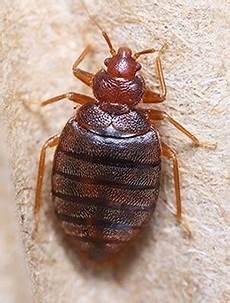 more info on bed bugs economy exterminators