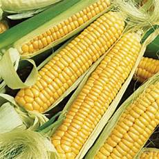 What Is Corn Made Of 10 Facts About Corn Fact File