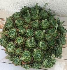 pianta grassa da interno pianta finta da arredo foglie larghe posot class