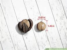 Nut Identification Chart How To Identify Hickory Nuts With Pictures Wikihow