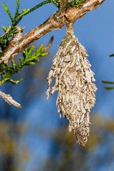 How To Treat Bagworms How To Get Rid Of Bagworms Bag Worms Garden Pests