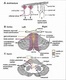 Cerebellum Anatomy Anatomical And Functional Organization Of The Cerebellum
