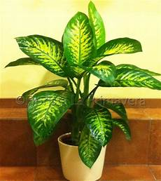 piante verdi da interno foto dieffenbachia tropic consegna fiori