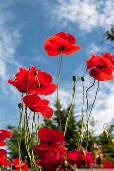 poppy flower wallpaper iphone vancouver poppies 4k hd desktop wallpaper for 4k ultra hd