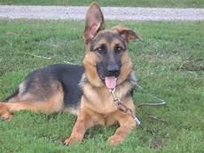 German Shepherd Ear Chart Puppies Ears Page 1