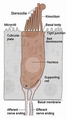 Hair Cells Hair Cells Anatomybox