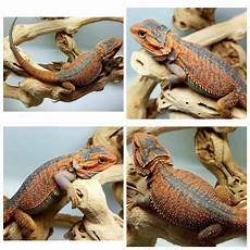 Bearded Dragon Color Chart A Guide To Bearded Dragon Mutations And Genetic Traits