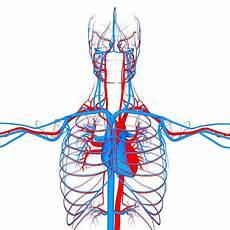 Circulatory System Organs Circulatory System Organs Anatomy 3d Model