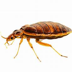 bed bug treatment by panic pest