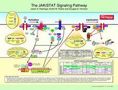 Jak Stat Pathway The Jak Stat Signaling Pathway Journal Of Cell Science