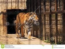 tigre in gabbia tigre indiana in gabbia immagine stock immagine di messo