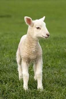 Newborn Lamb Newborn Lamb Care Animals Me