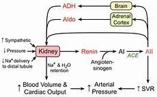 Adh Vs Aldosterone Venn Diagram Cv Physiology Renin Angiotensin Aldosterone System