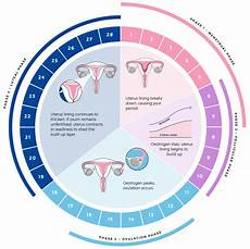24 Day Menstrual Cycle Chart A Menstrual Cycle Is Measured From The First Day Of Your