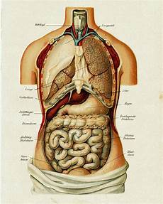 Vintage Medical Anatomy Human Organ Illustration Chart