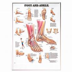 Foot Anatomy Chart Foot Amp Ankle Chart Anatomical Charts Posters Amp Models