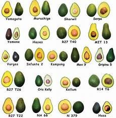 Different Types Of Avocado Avocado Varieties Avocado Varieties Avocado Types