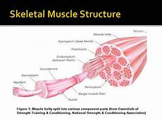 Skeletal Muscle Structure Ppt Muscle Structure And Function Powerpoint