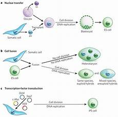 Somatic Cell Nuclear Transfer Three Approaches To Nuclear Reprogramming To Pluripotency