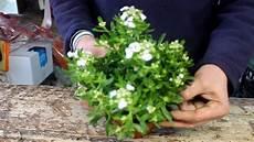 fiori vaso le piante fiorite resistono al gelo