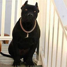 Designer Pitbulls Cost American Bully Temperament Amp Quick Guide About This
