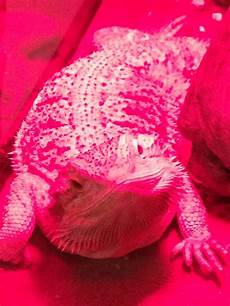 Blue Night Light For Bearded Dragon Bearded Dragon Under Night Light Bearded Dragon Pinterest