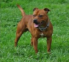 Staffordshire Bull Terrier Weight Chart Staffordshire Bull Terrier Wikipedia