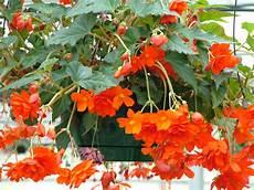 plantas penduradas ao ar livre begonia illumination orange plantas penduradas vasos