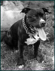 American Pit Bull Terrier Canada S Guide To Dogs
