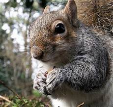 Where Do Squirrels Live Where Do Gray Squirrels Live Colonial Pest Control