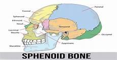 Sphenoid Bone Sphenoid Bone World Wide Lifestyles Fitness Health