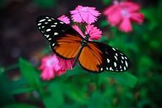 Mariposas Y Flores Flores Y Plantas Para Atraer Mariposas Que No Fallan