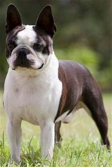 Boston Terrier Colors Chart Acceptable Colors In Boston Terriers Seal Color