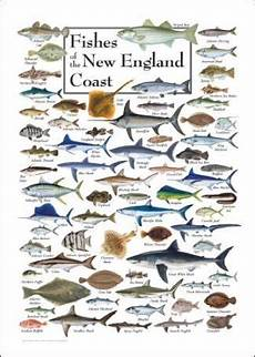 Maine Fish Species Chart Fishes Of The New England Coast Saltwater Fish Charts