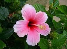 fiore ibisco significato significato fiori rosa linguaggio dei fiori