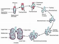 Embryonic Development Of The Respiratory System Anatomy