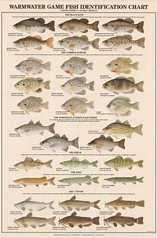 Maine Fish Species Chart Warmwater Game Fish Identification Poster Boys Room