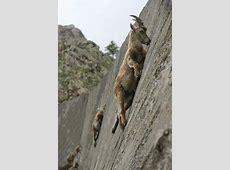Amazing Rock Climbing Skills of Goats   XciteFun.net