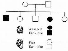Pedigree Chart For Free Or Attached Earlobes Given Below Is A Pedigree Chart Of A Family With Five