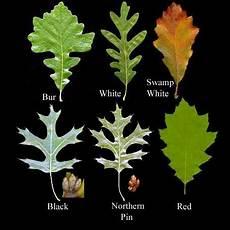 Oak Leaf Id Chart Glorious Oaks Back Yard Biology