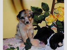 Shamrock Rose Aussies   EXCITING NEWS!!! Summer litters