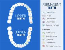 Tooth Number Chart Adults Different Teeth Different Purposes Smile Guide